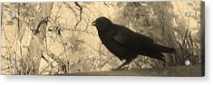 Crow Acrylic Print by Tracy Fallstrom