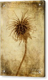 Crown Of Thorns Acrylic Print by John Edwards