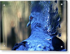 Crowned Pigeon Acrylic Print by Terry Cork