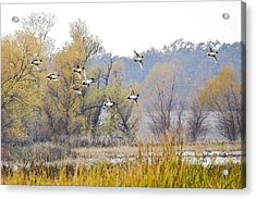 Cruising The Pond Acrylic Print by Charlie Osborn