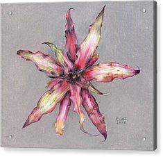 Cryptanthus Strawberry Shortcake Acrylic Print