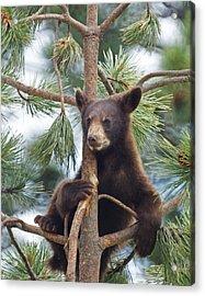 Cub In Tree Dry Brushed Acrylic Print by Ernie Echols