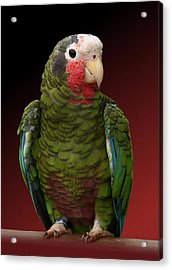 Cuban Amazon Parrot Acrylic Print