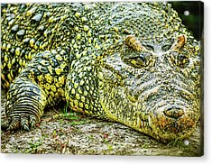 Cuban Croc Acrylic Print