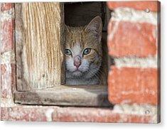 Cubby Cat Acrylic Print