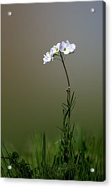 Cuckoo Flower Acrylic Print by Ian Hufton