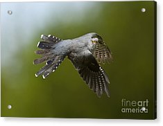 Cuckoo Flying Acrylic Print by Steen Drozd Lund