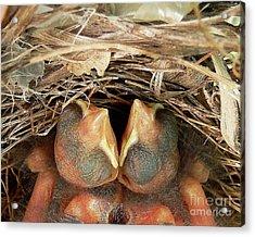 Cuddling Cardinals Acrylic Print by Al Powell Photography USA