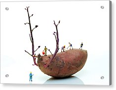 Cultivation On A Sweet Potato Acrylic Print by Paul Ge