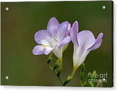 Cupertino Lavender Freesias Acrylic Print