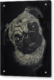Curiosity Of The Pug Acrylic Print by Jessica Kale