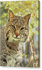 Acrylic Print featuring the photograph Curiosity The Bobcat by Jessica Brawley