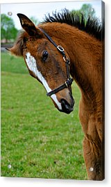 Curious Baby Acrylic Print by Pat Shawyer