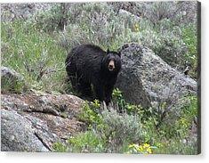 Curious Black Bear Acrylic Print