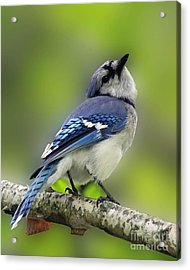 Curious Blue Jay Acrylic Print by Inspired Nature Photography Fine Art Photography