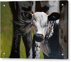 Curious Calf Acrylic Print