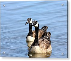 Acrylic Print featuring the photograph Curious Canda Geese by Sheila Brown