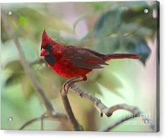 Curious Cardinal Acrylic Print by Carol Groenen