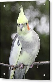 Curious Cockatiel Acrylic Print by Inspirational Photo Creations Audrey Woods