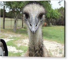 Curious Emu At Fossil Rim Acrylic Print