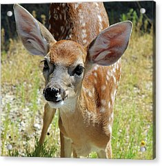 Curious Fawn Acrylic Print by Inspirational Photo Creations Audrey Woods