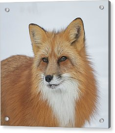 Curious Fox Acrylic Print by Jack Bell