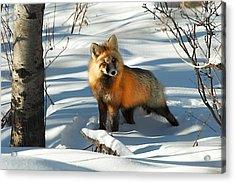 Curious Fox Acrylic Print