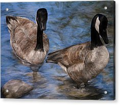 Curious Geese Acrylic Print by Meagan  Visser