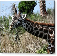 Curious Giraffe Acrylic Print by Mary Haber