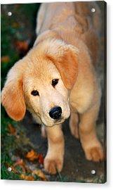 Curious Golden Retriever Pup Acrylic Print