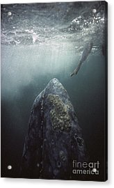 Curious Gray Whale And Tourist Acrylic Print