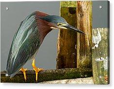 Curious Green Heron Acrylic Print by Arthur Dodd
