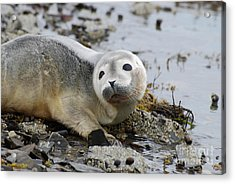 Curious Harbor Seal Pup Acrylic Print