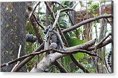Curious Lemur  Acrylic Print