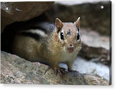 Curious Little Chipmunk Acrylic Print by Pierre Leclerc Photography