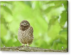 Curious Little Owl Chick Acrylic Print by Roeselien Raimond