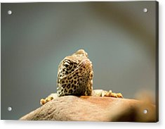 Curious Lizard Acrylic Print by David Stasiak