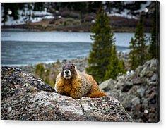Curious Marmot Acrylic Print by Michael J Bauer