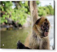 Curious Monkey Acrylic Print by Michael Santos