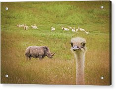 Curious Ostrich And White Rhino Acrylic Print