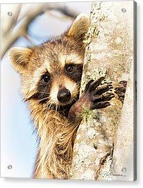 Curious Raccoon 6054 Acrylic Print by Dan Beauvais