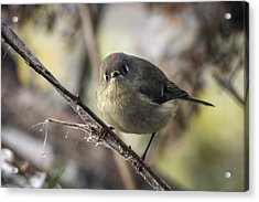 Curious Ruby-crowned Kinglet Acrylic Print