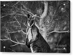 Curious Wallaby 2 Acrylic Print by Naomi Burgess