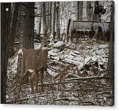 Curious Whitetail Acrylic Print
