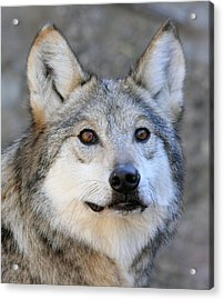 Curious Wolf Acrylic Print by Elaine Malott