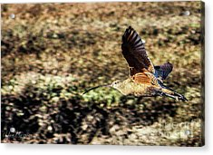 Curlew In Flight Acrylic Print