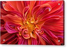 Curls And Curves Acrylic Print by Mary Jo Allen
