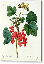 Currants  Red Acrylic Print by Pierre Joseph Redoute