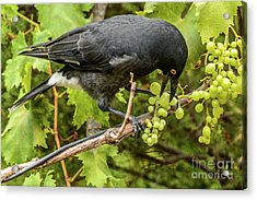 Acrylic Print featuring the photograph  Currawong On A Vine by Werner Padarin