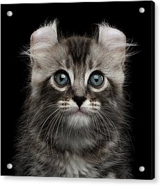 Cute American Curl Kitten With Twisted Ears Isolated Black Background Acrylic Print by Sergey Taran